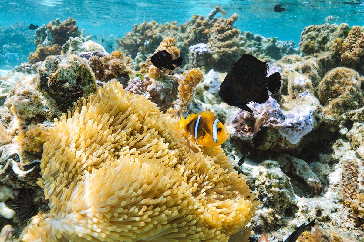 The Islands of Tahiti Le Tahaa Island Resort and Spa Renee Roaming Coral Garden Snorkeling 3
