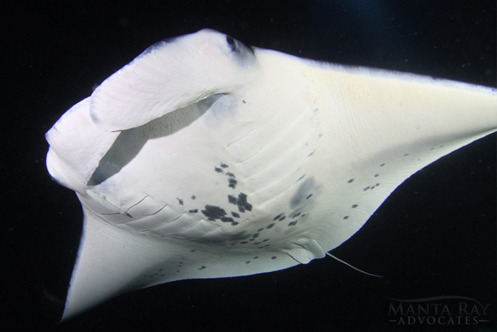 Manta Rays Night Swim