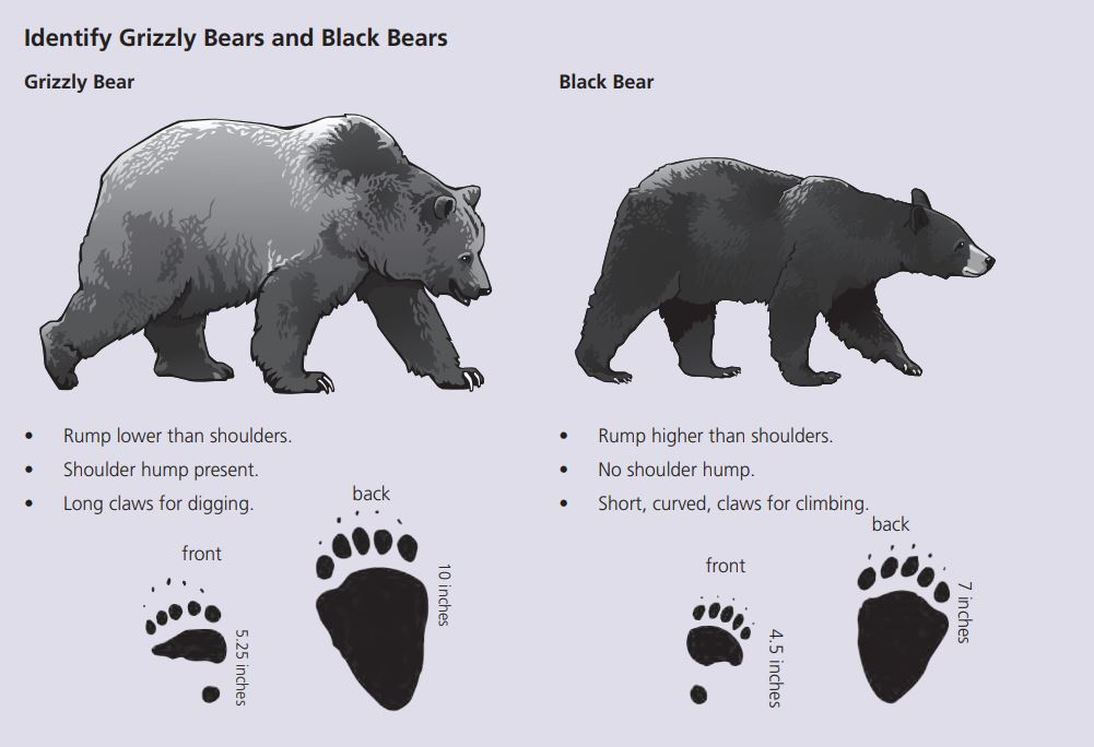 How do you tell the difference between a black bear and a grizzly bear