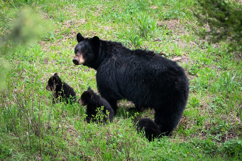 Introduction to Bear Safety when Hiking and Camping - Hiking in Bear Country in Yellowstone National Park