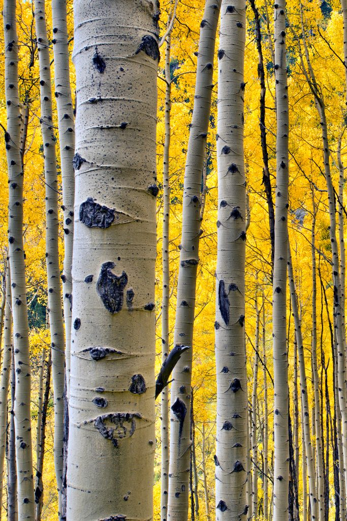 12 Best National Parks To Visit In The Fall - Rocky Mountain National Park Aspens