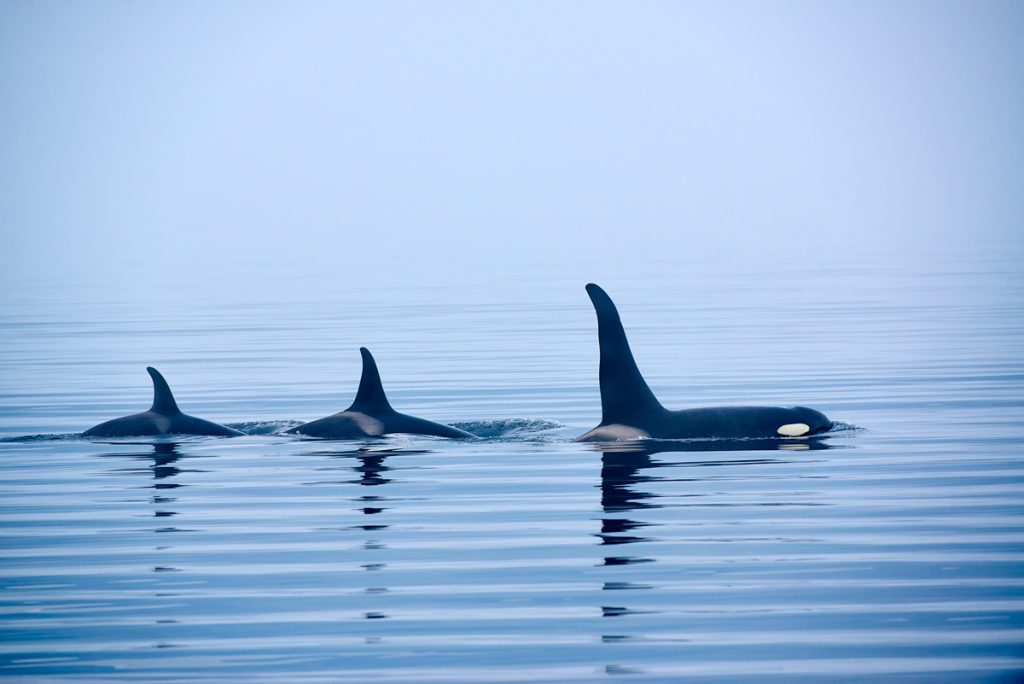 Best outdoor things to do during fall in Washington State - Whale watching orca whales Washington