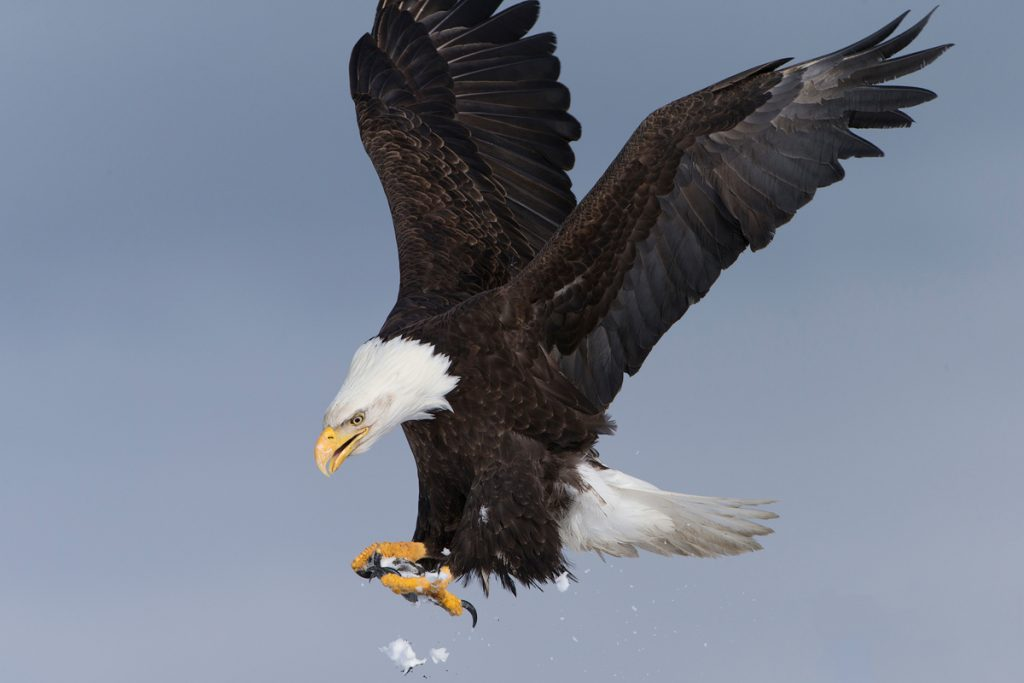 The Ultimate Guide to Exploring Kenai Fjords National Park - Bald Eagle