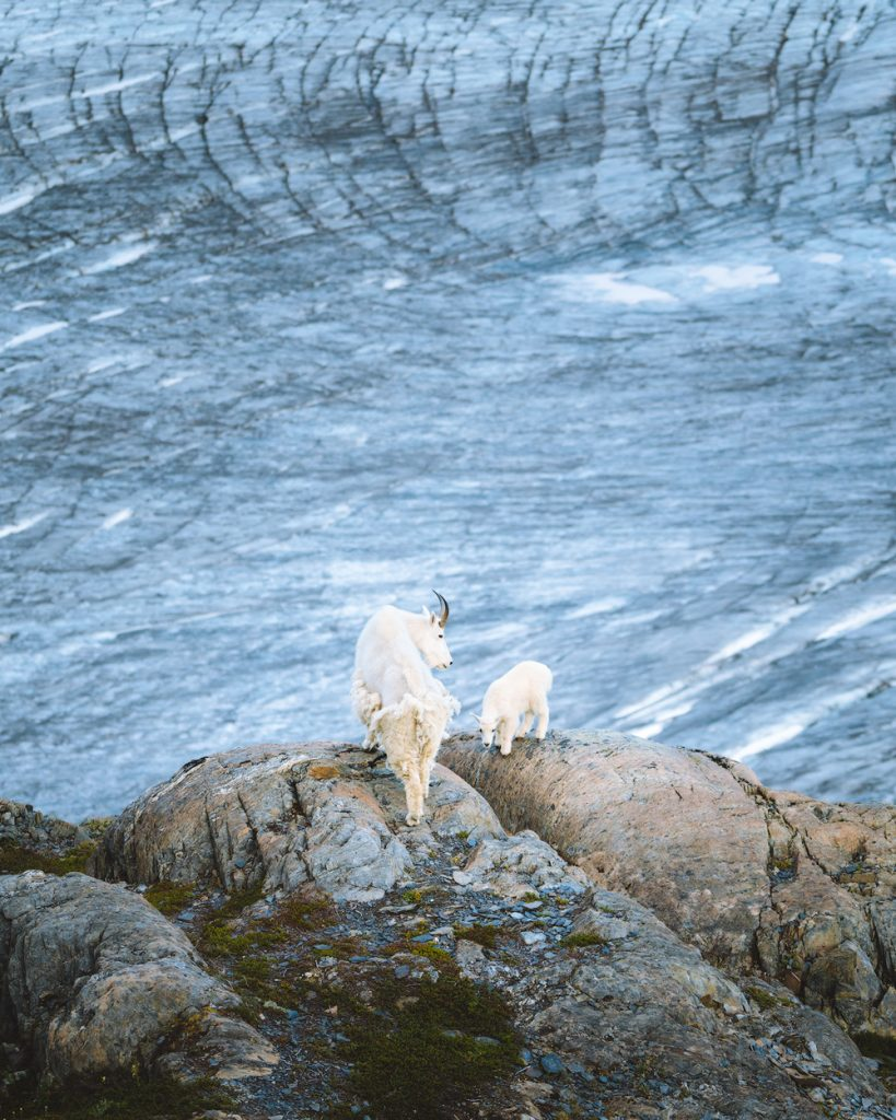 The Ultimate Guide to Exploring Kenai Fjords National Park - Mountain Goat Harding Icefield Exit Glacier