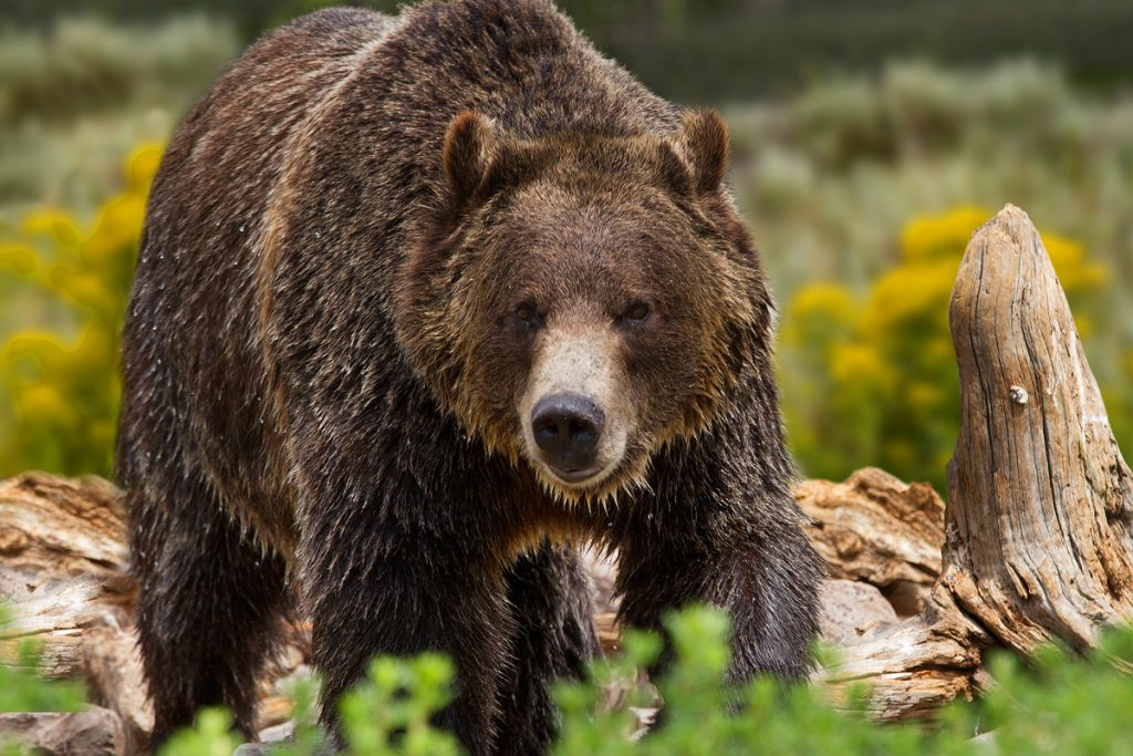 Ultimate Yellowstone National Park Guide and Itinerary- Grizzly Bear