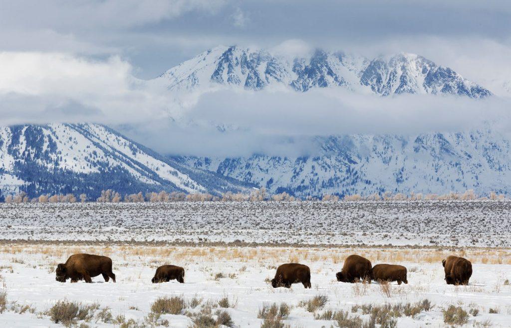 12 Best National Parks to Visit in Winter - Grand Teton National Park Bison
