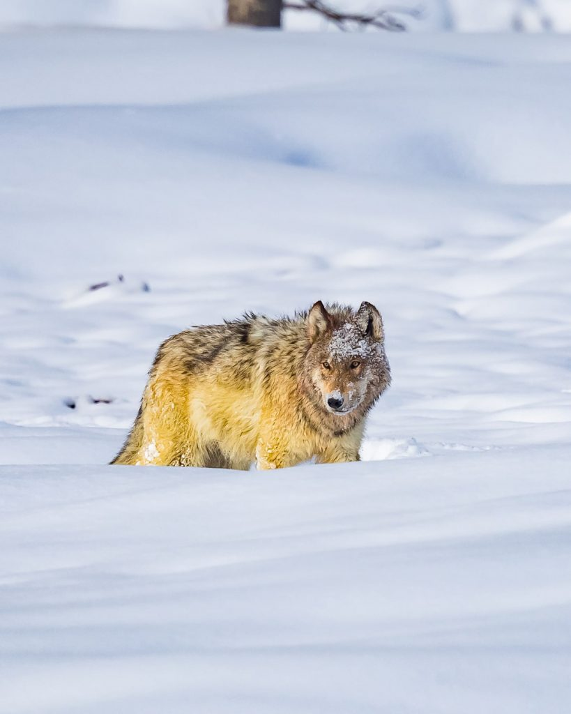 12 Best National Parks to Visit in Winter - Yellowstone National Park Wolf